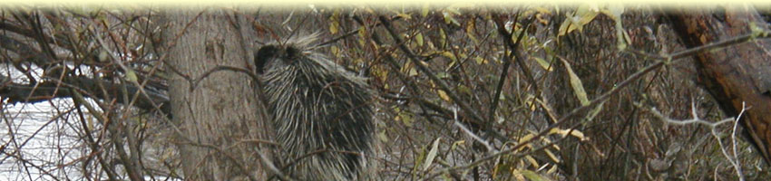 porcupine_footer